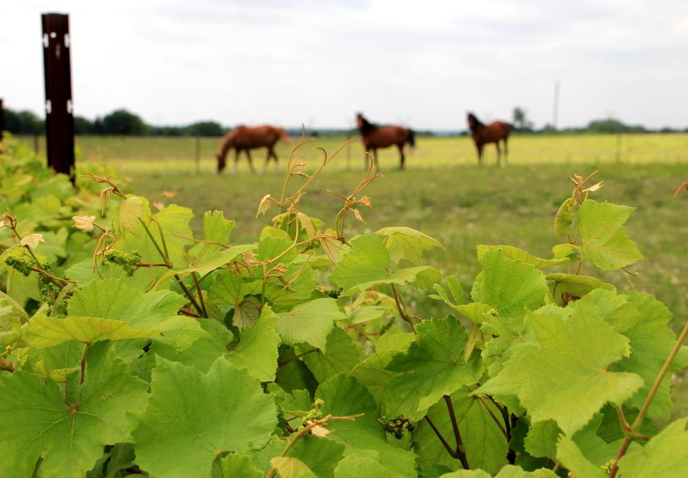 Horses at Eden Hill Vineyards, Collin County, Texas
