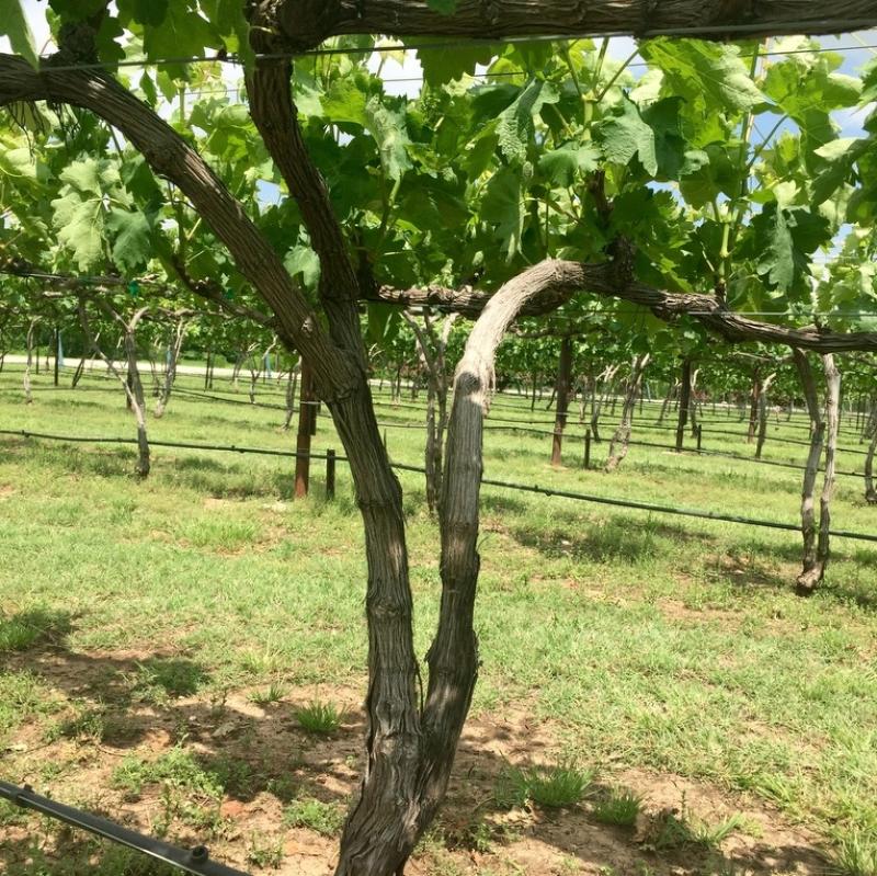 Eden Hill Vineyards, Collin County, Texas