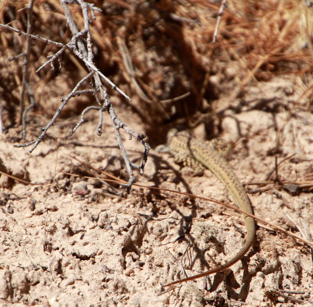 Lizard Vacation Destination New Mexico State Park Canyons Texas Oklahoma Architect
