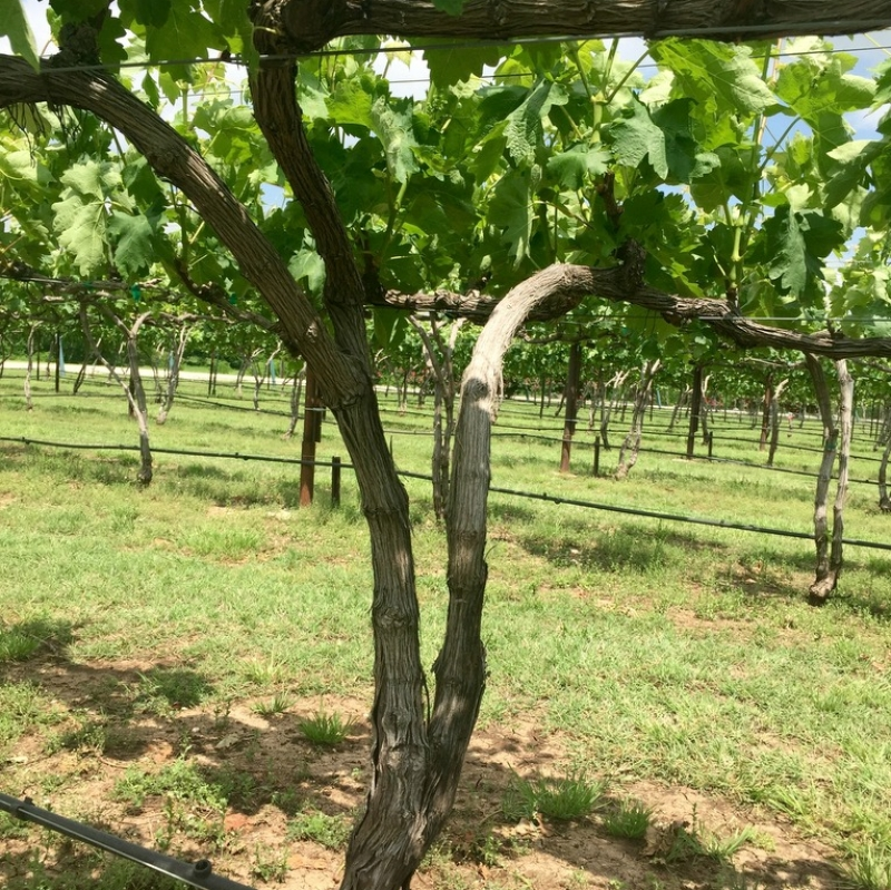 Eden Hill Vineyards, Collin County, Texas